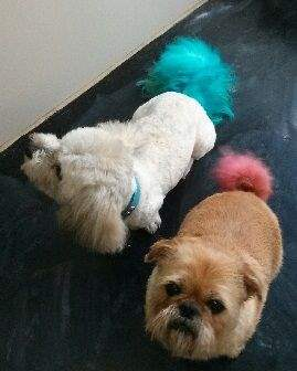 The Grooming Salon Dog Grooming Brisbane Clipping Grand Designs